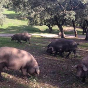 Montanera 2019: nuevo control al cerdo ibérico de bellota en Andalucía
